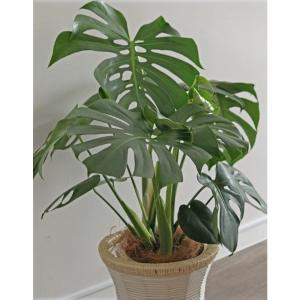 「フラワーサロンAtelierK」 観葉植物