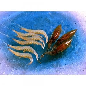 深海の競演(生冷ほたるいか&白えび)