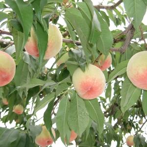 和歌山の甘くておいしい桃