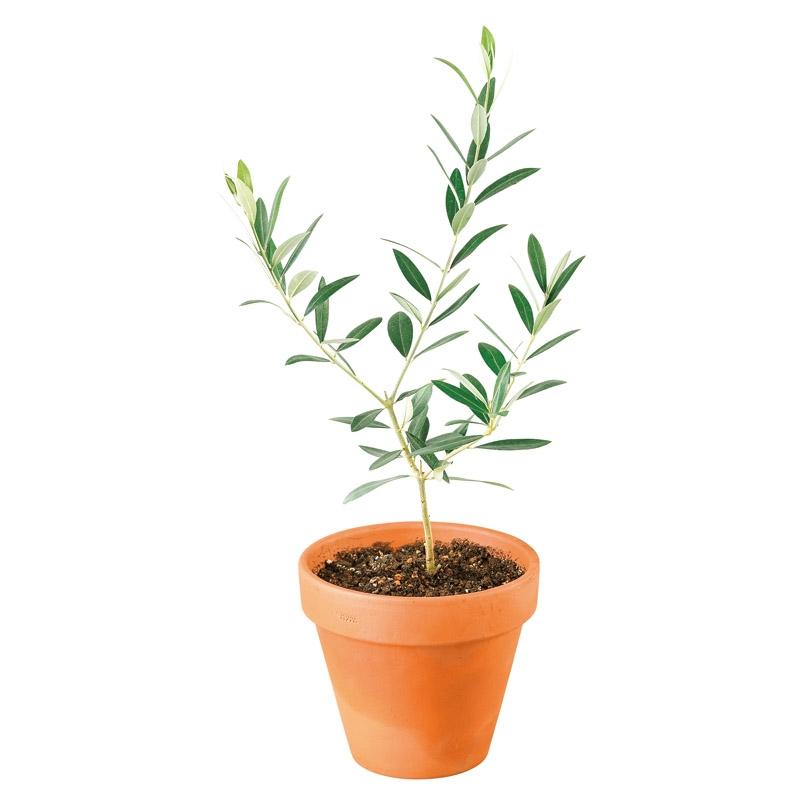 オリーブ素焼鉢植え T-R50OLIVE